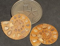 Ammonite Fossil Slices OK 1:12 Library Home #4923
